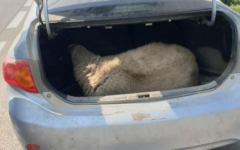 מודיעין: נתפס נוהג במהירות ובתא המטען של הרכב נמצאה כבשה