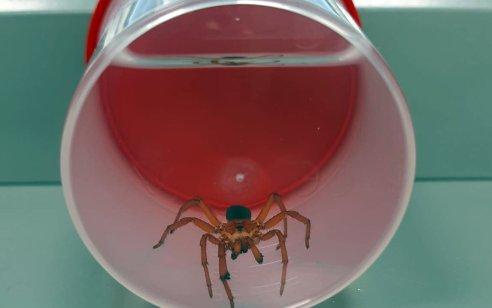 נשיכת עכביש נדיר: ילדה בת 7 ננשכה ברגלה מזן עכביש שאינו מוכר בישראל
