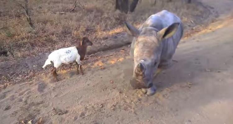 Μια αξιολάτρευτη φιλία, ένας ρινόκερος με ένα αρνί