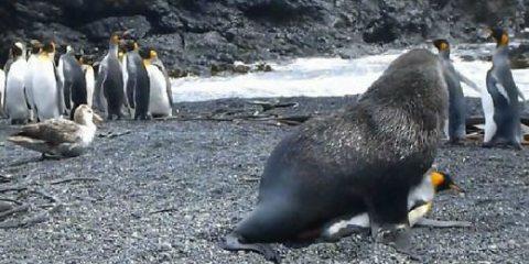 σεξουαλική συνεύρεση μεταξύ φώκιας και πιγκουίνου