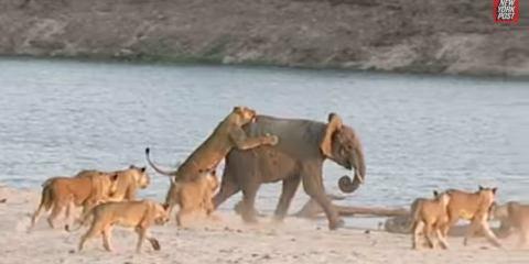 Γενναίο ελεφαντάκι που νίκησε 14 λιοντάρια
