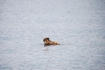 κουκουβάγιες μπορούν να κολυμπήσουν allabout.gr