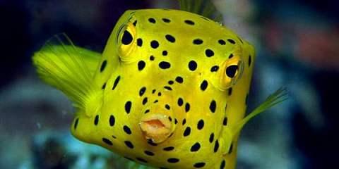 Boxfish: Το παράξενο ορθογώνιο ψάρ