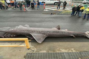 Ένα πραγματικό τέρας του βυθού: «Καρχαρίας- προσκυνητής» 6,3 μέτρων στα νερά της Αυστραλίας