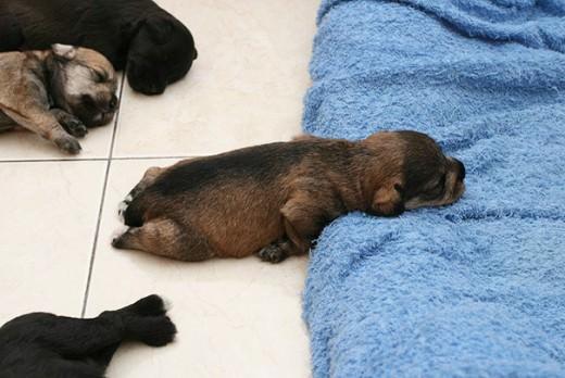 Κουτάβια που κοιμούνται όπου βρούνε