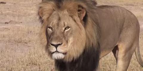 Γδαρμένο και αποκεφαλισμένο βρέθηκε ένα από τα εμβληματικότερα λιοντάρια της Αφρικής