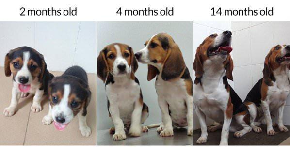 Κινέζοι επιστήμονες δημιουργούν μεταλλαγμένα σκυλιά «μποντιμπιλντεράδες».