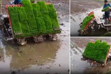 δείχνει πως φυτεύουν οι Ιάπωνες αγρότες το ρύζι τους