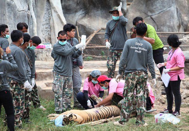 κουφάρια από τίγρεις βρέθηκαν σε δημοφιλή ναό της Ταϊλάνδης 12