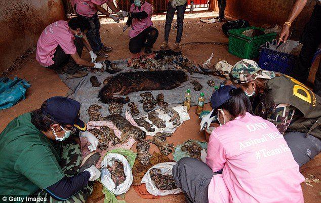 κουφάρια από τίγρεις βρέθηκαν σε δημοφιλή ναό της Ταϊλάνδης 2