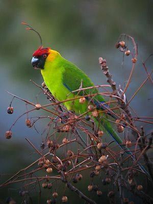 Horned Parakeet (Eunymphicus cornutus)