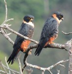 bat falcon (Falco rufigularis)