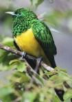 African Emerald Cuckoo (Chrysococcyx cupreus