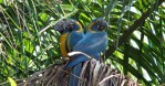 Blue-throated Macaw (Ara glaucogularis; previously Ara caninde)