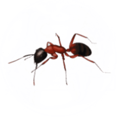 Ant Pest Control for Sevierville TN and Surrounding Areas