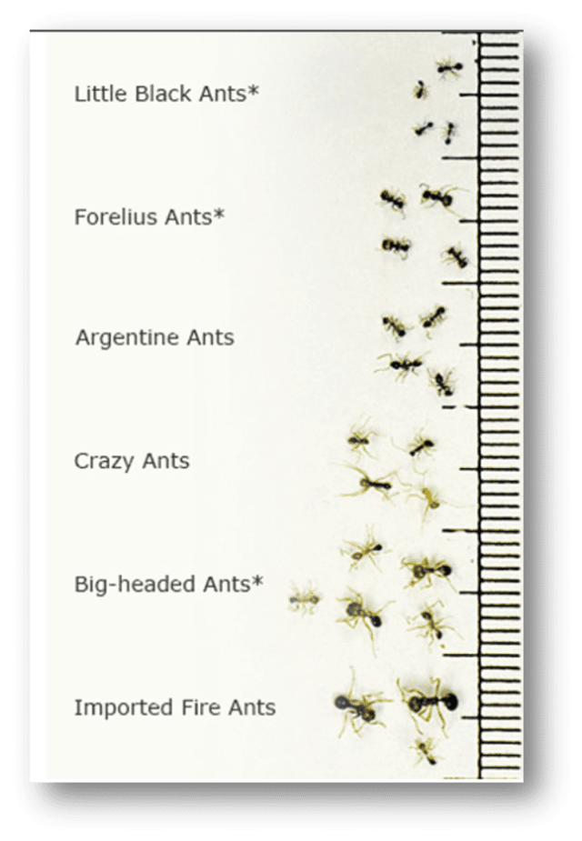 Imported-Fire-Ant-Look-Alikes-in-Sevierville-Tennessee