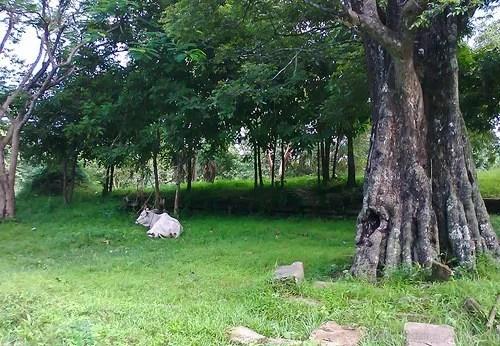 коровы в камбодже-001