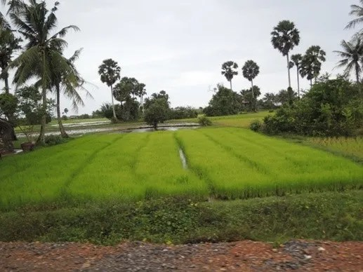 рис в камбодже