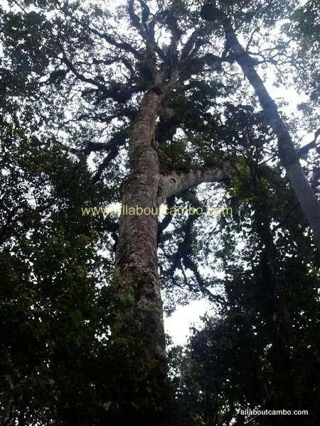 деревья на борнео