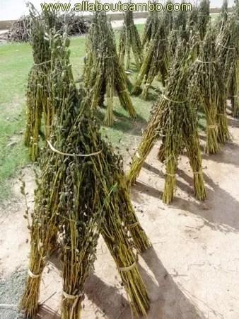 растения в камбодже