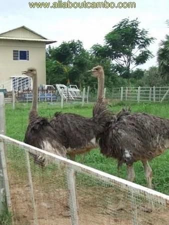 страусы в камбодже
