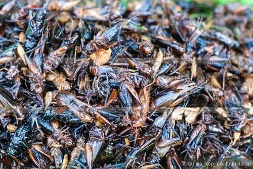 в камбодже едят насекомых