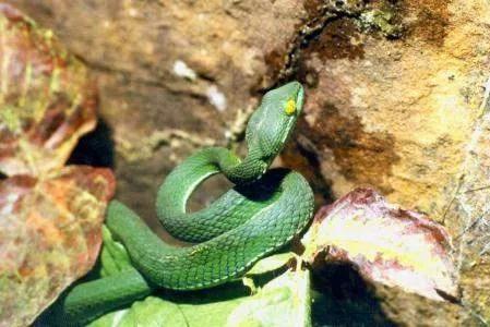 кобра в Камбодже