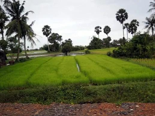 как растёт рис