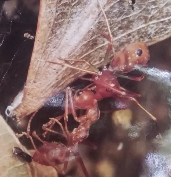 красные муравьи_Болавен