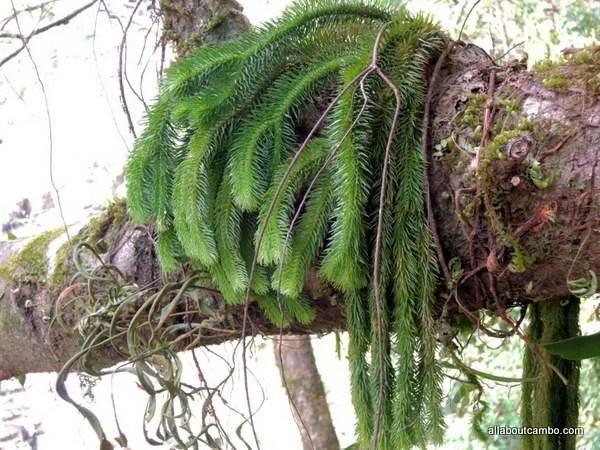 елка в лаосе