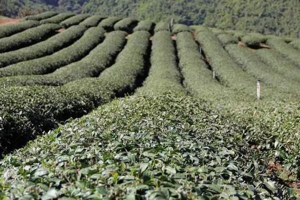 чай в Маесалонге