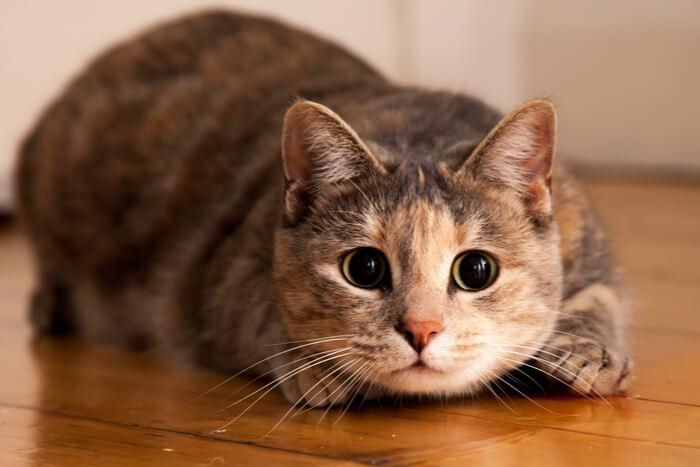 Gato Zoomies Crazy Eye