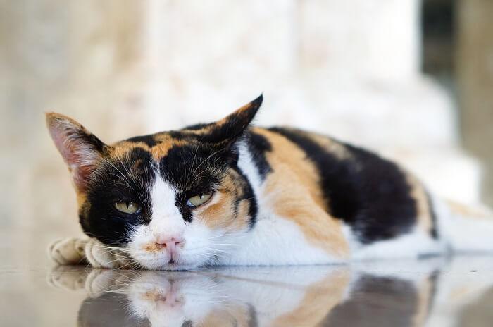gato calicó tirado en el suelo