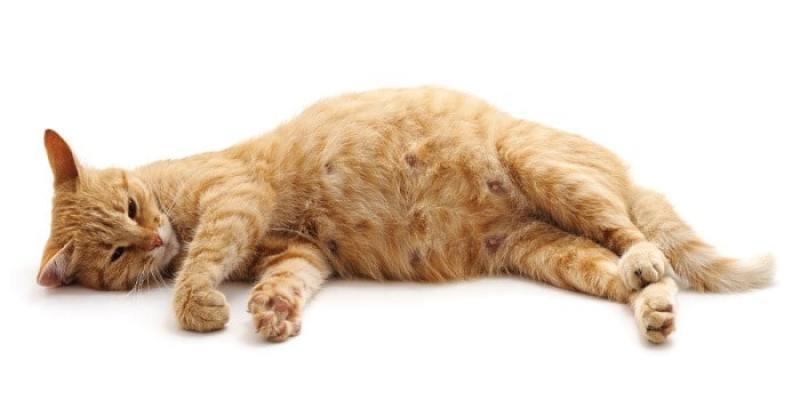 Característica de nacimiento de gato