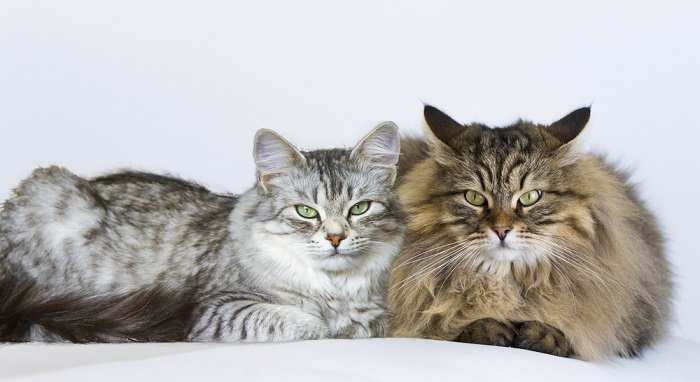 Guía para saber el sexo de un gato