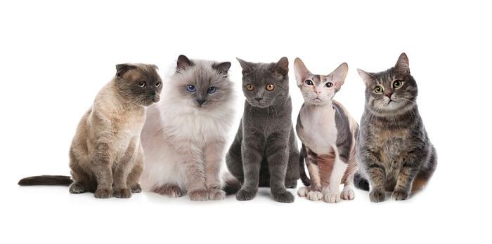 Las 9 razas de gatos más amigables