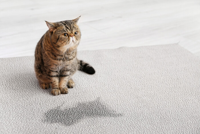 cat with wet spot on carpet