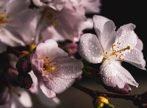 Cherry Blossom - Forex Trading Strategy