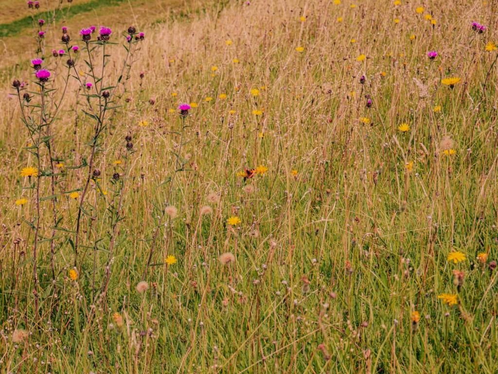 Wild flowers at Loughcrew Estate and Gardens
