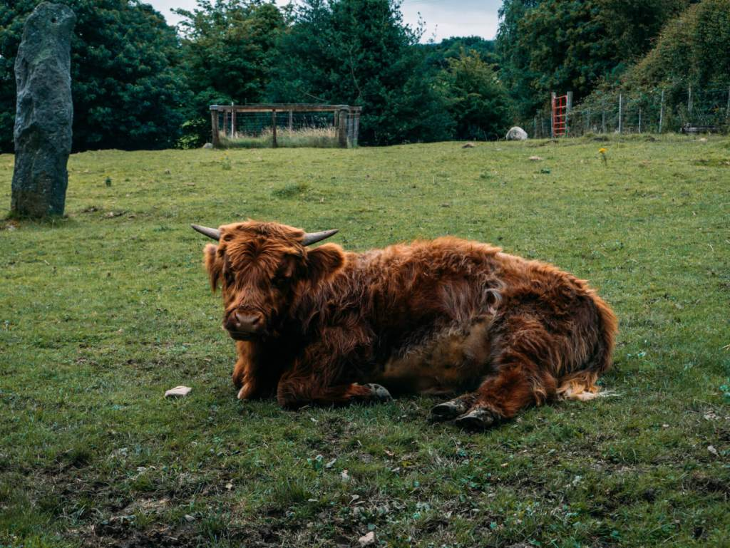Baby Highland Cow at Greenan Maze and Farm