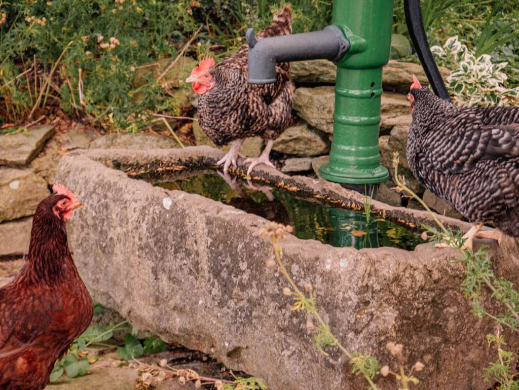 Chickens at a water trough in Brooklodge Hotel in Wicklow Ireland