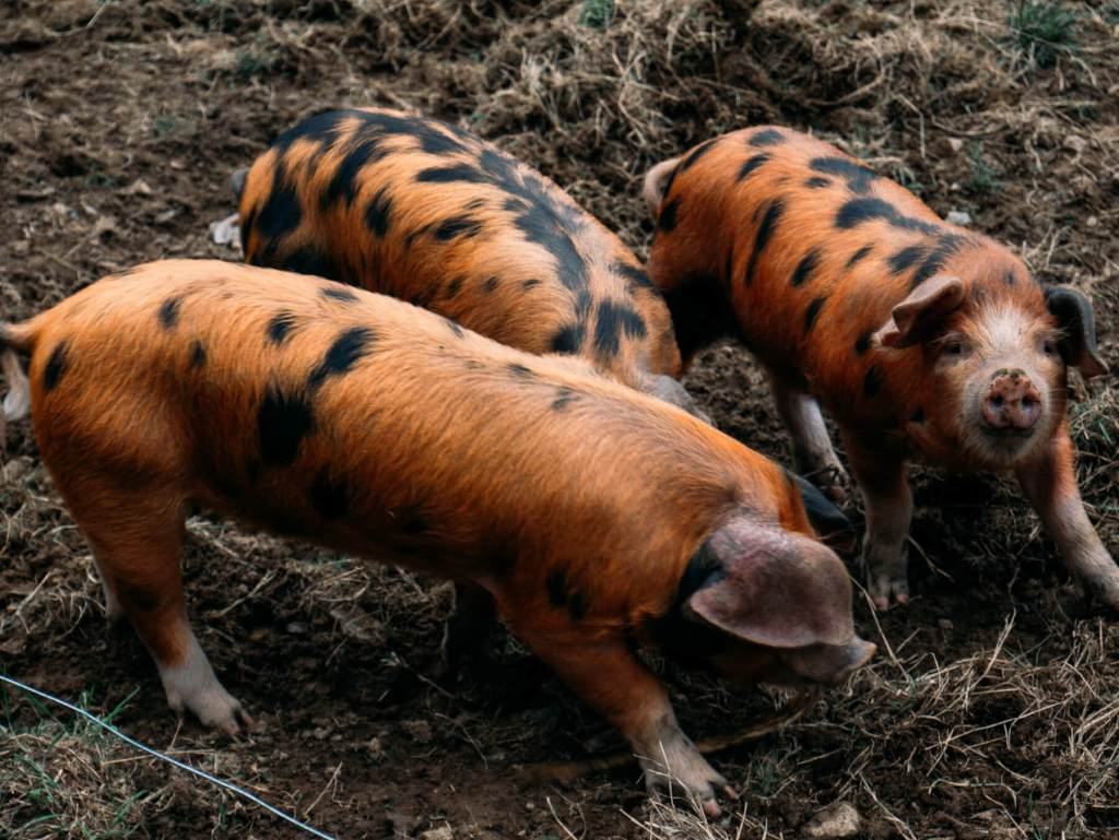 Pigs in a mucky field in Greenan Maze and Farm Wicklow Ireland
