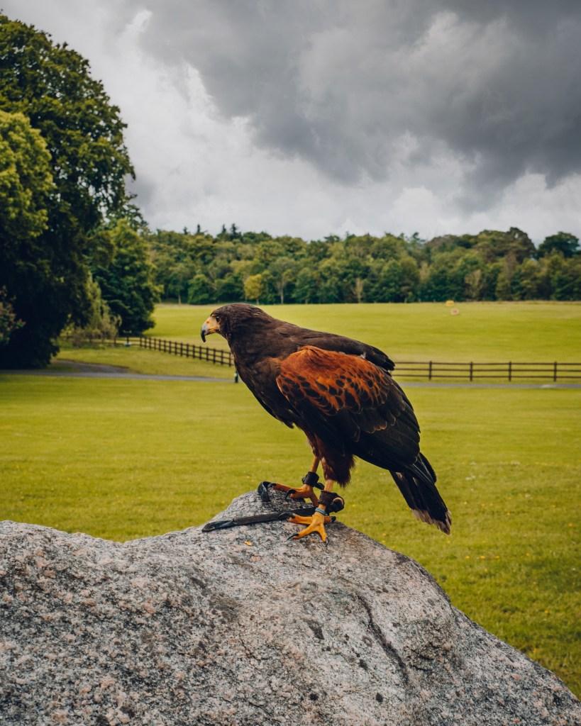 Harris Hawk on a rock at Mount Falcon