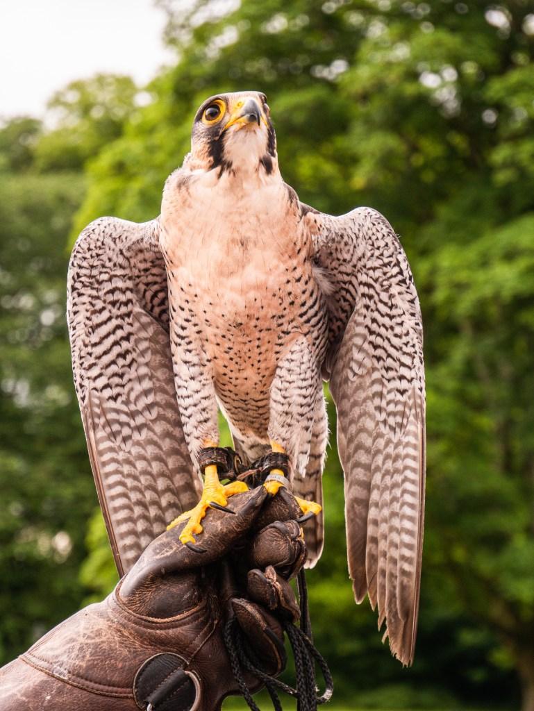 Male Peregrine Falcon raising his wings