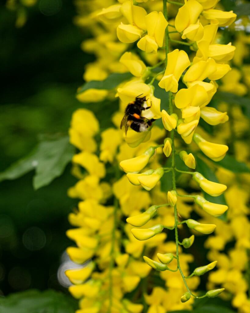Bumble Bee on yellow flowers in the gardens of Mount Falcon
