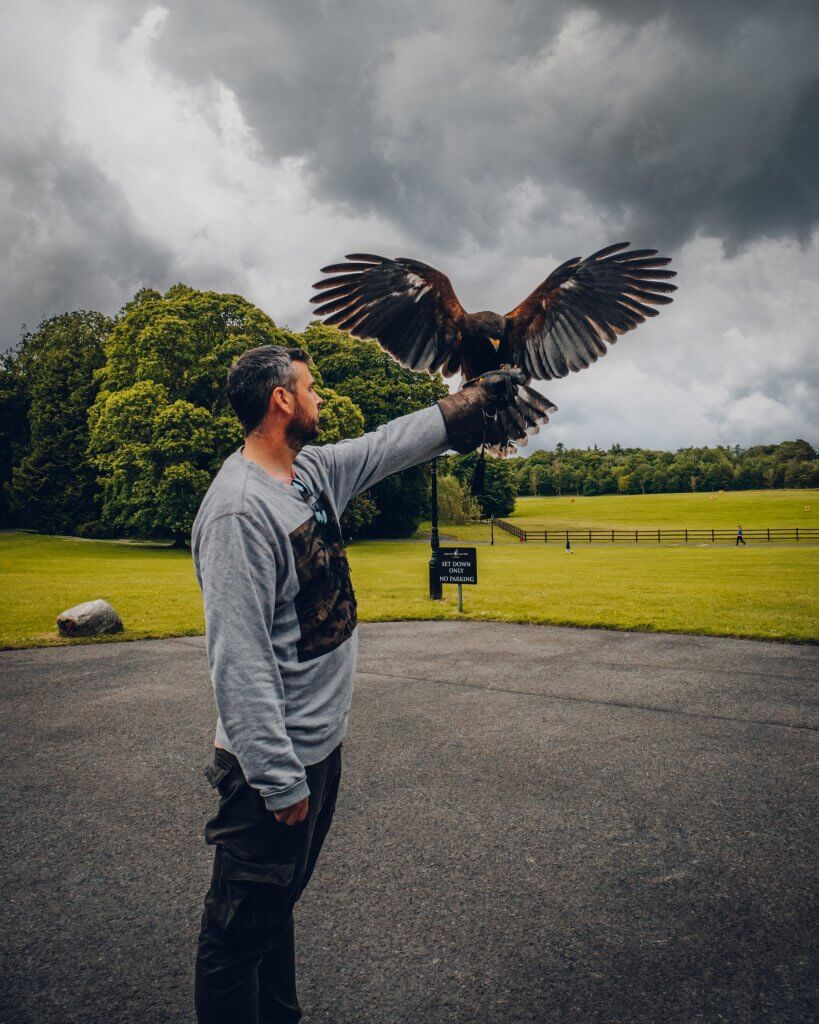 Harris Hawk landing on the arm of a man during the hawk walk at mount falcon