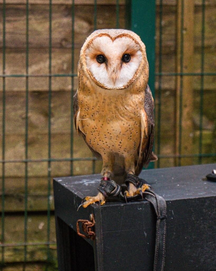 Barn Owl on a perch