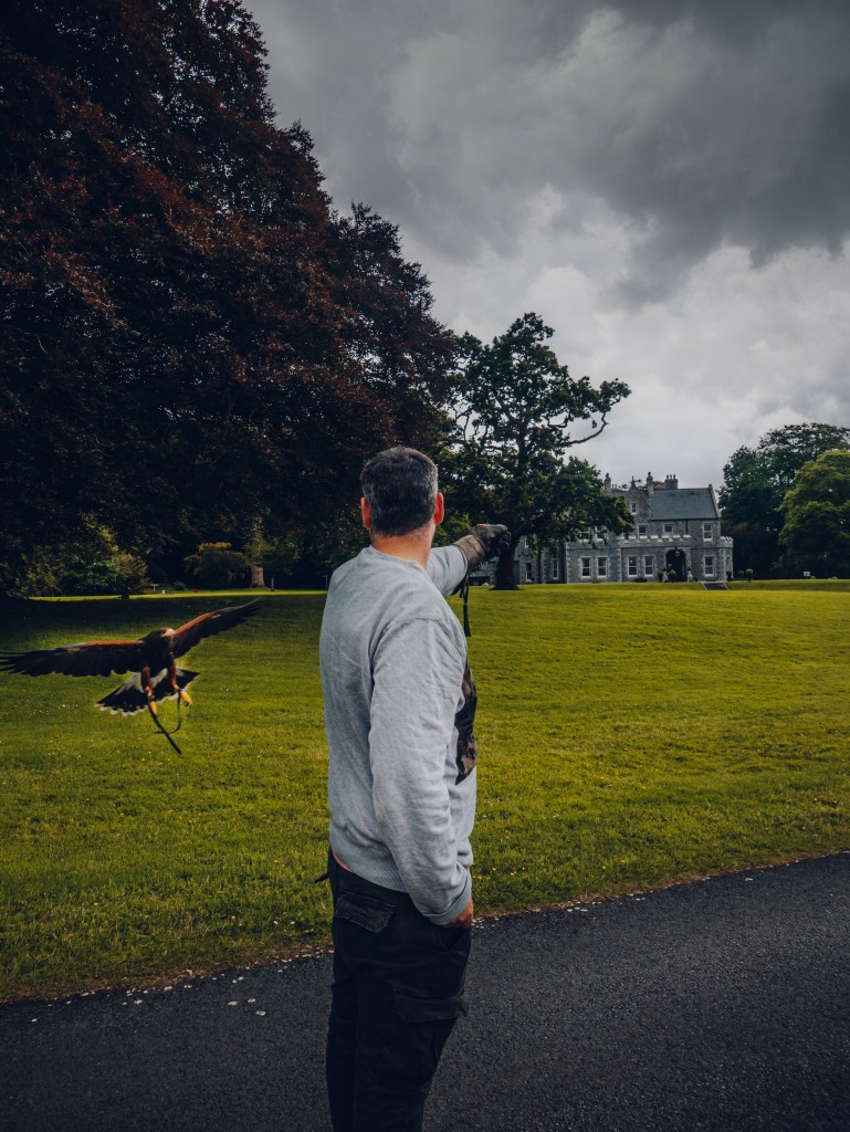 Harris Hawk landing on the arm of a guest at Mount Falcon Estate Ireland