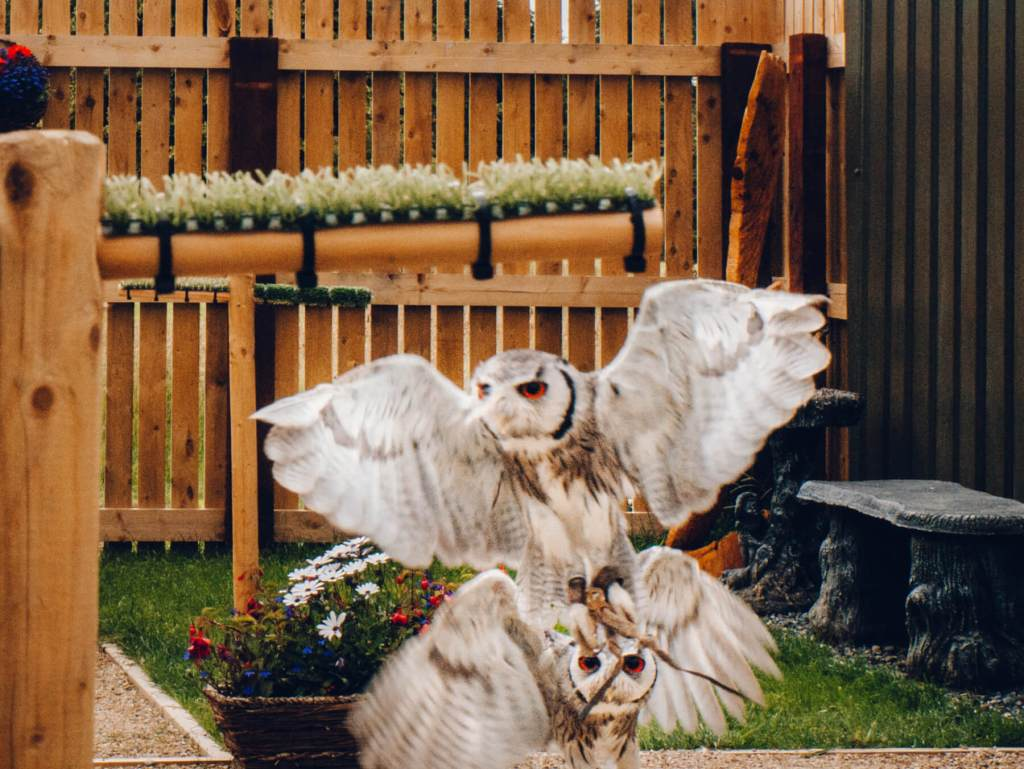 Two south sfrican white faced owls in flight