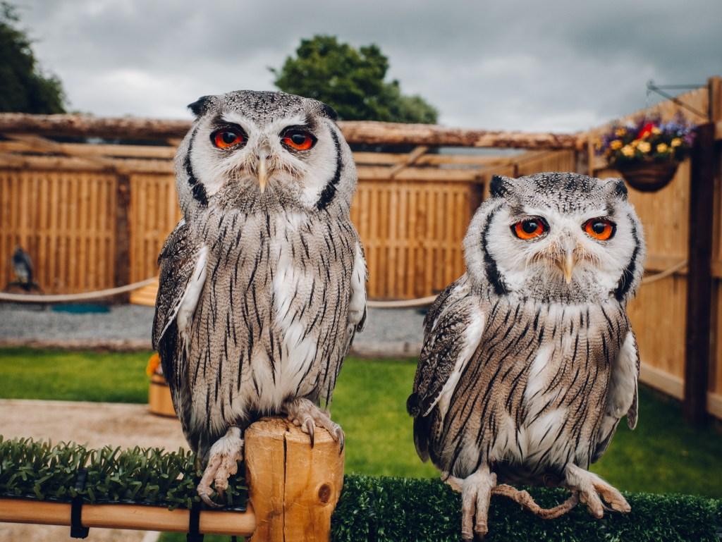 South African white faced owls at the hawkeye school of falconry Lyrath Estate Kilkenny Ireland